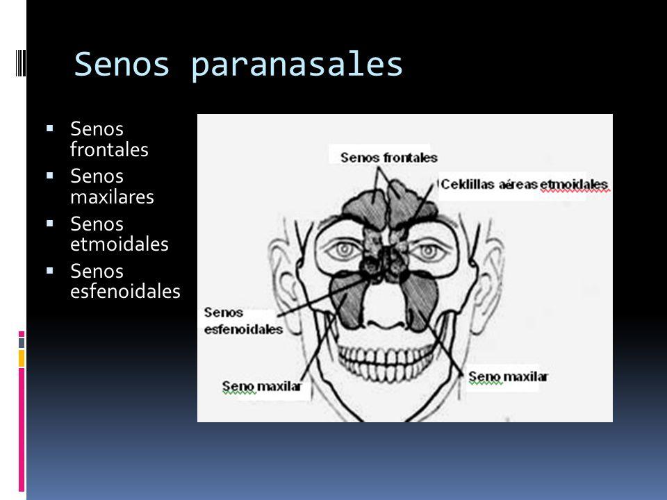 Senos paranasales Senos frontales Senos maxilares Senos etmoidales