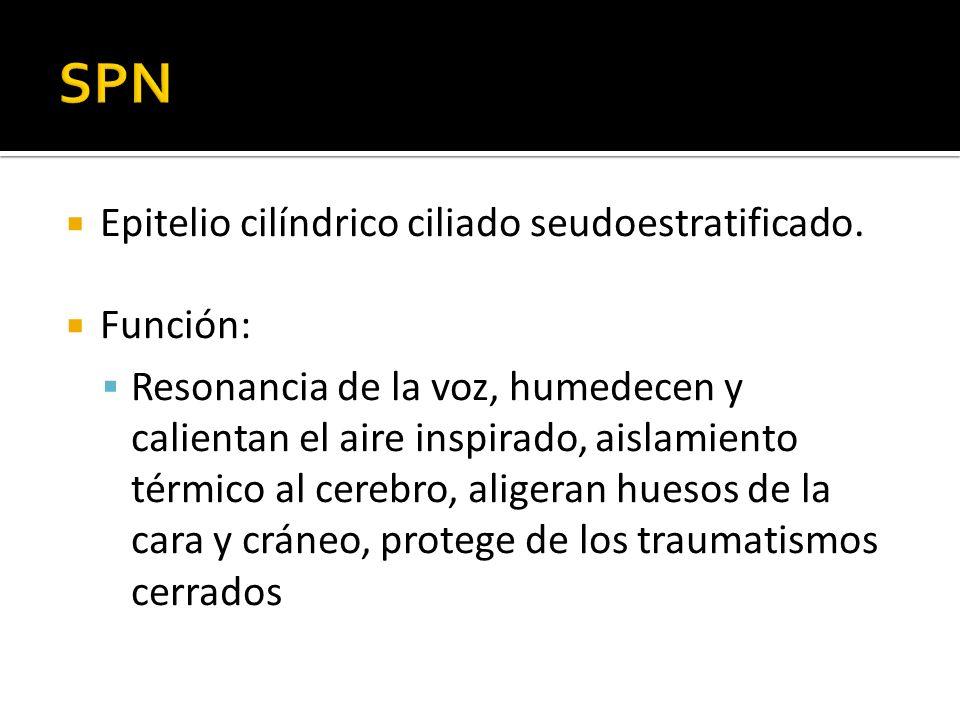 SPN Epitelio cilíndrico ciliado seudoestratificado. Función: