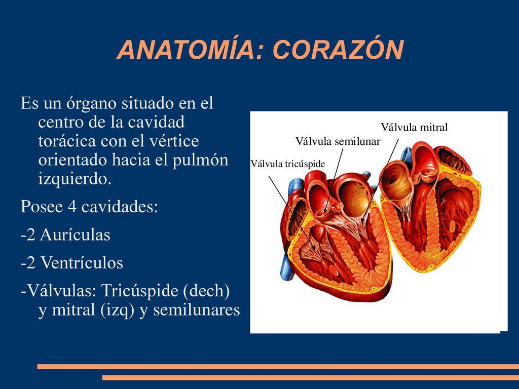 Magnífico Vértice En La Anatomía Patrón - Anatomía de Las ...