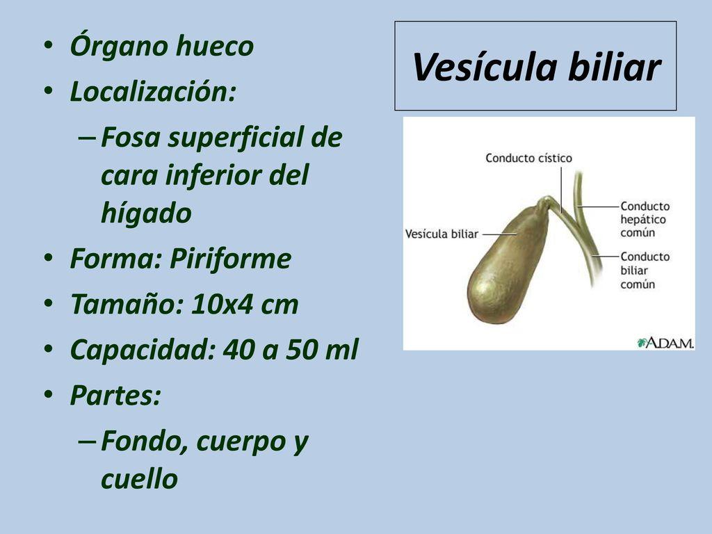 Bonito Vesícula Biliar Diagrama De Localización Motivo - Anatomía de ...