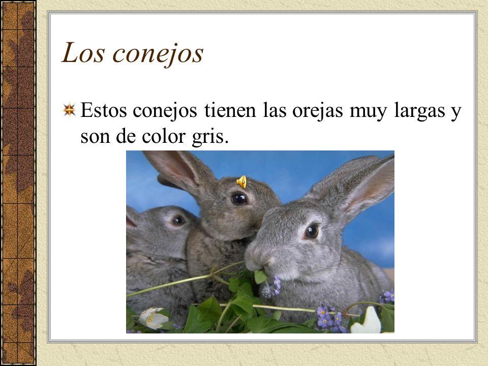 Los conejos Estos conejos tienen las orejas muy largas y son de color gris.