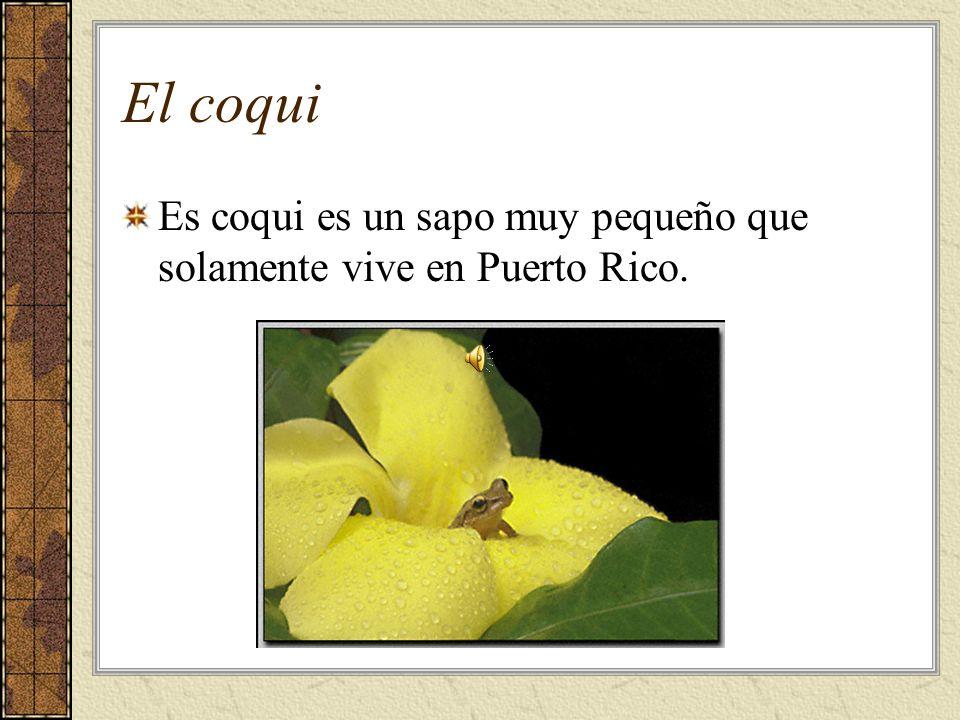 El coqui Es coqui es un sapo muy pequeño que solamente vive en Puerto Rico.