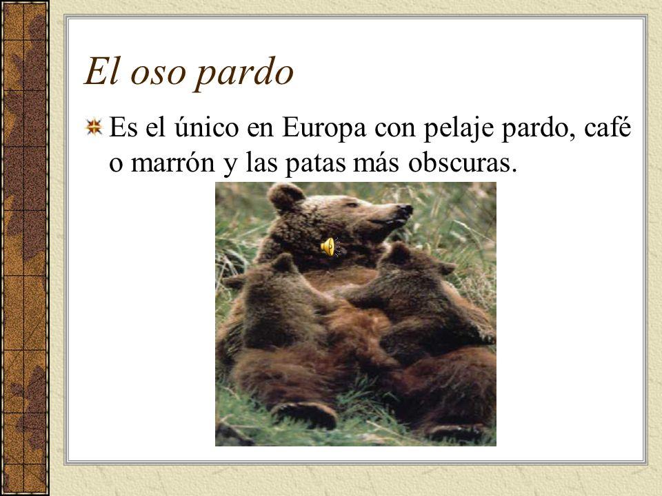 El oso pardo Es el único en Europa con pelaje pardo, café o marrón y las patas más obscuras.