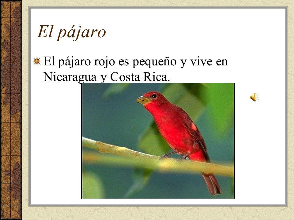 El pájaro El pájaro rojo es pequeño y vive en Nicaragua y Costa Rica.