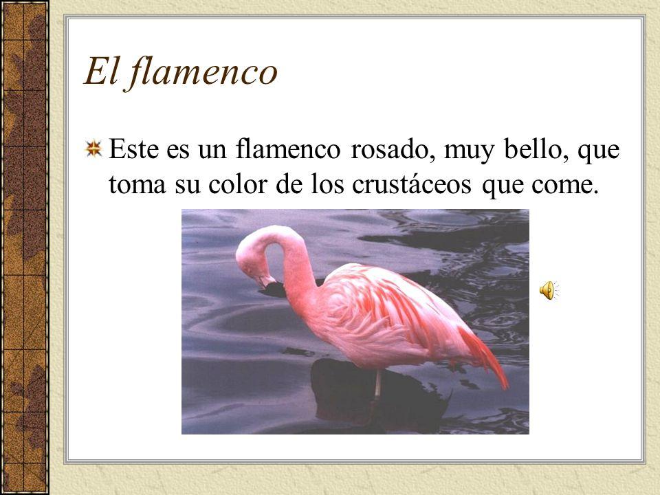 El flamenco Este es un flamenco rosado, muy bello, que toma su color de los crustáceos que come.