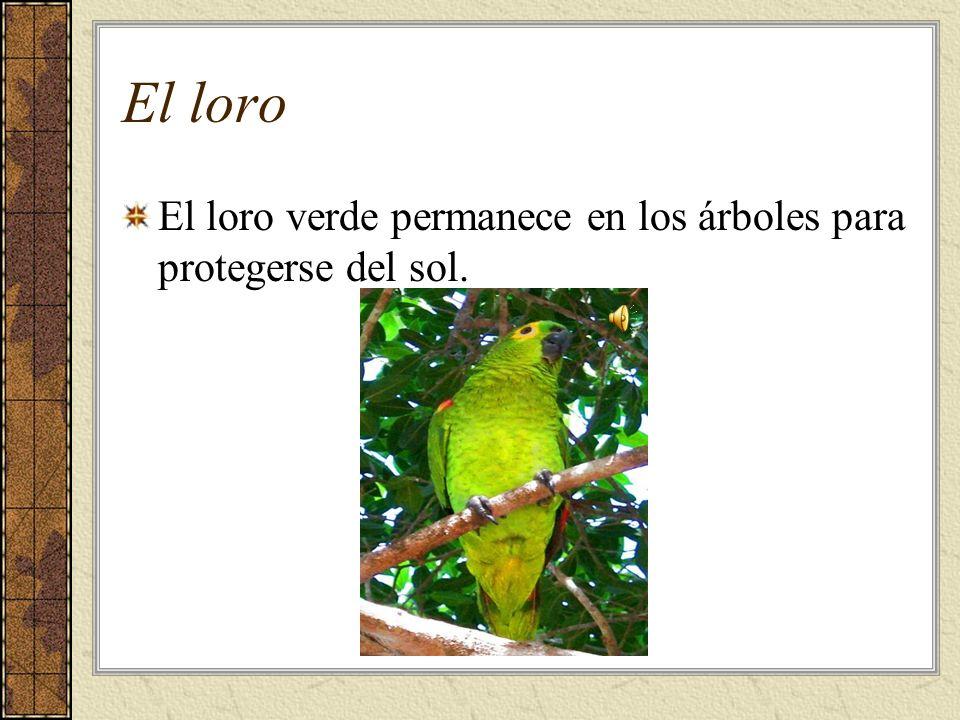 El loro El loro verde permanece en los árboles para protegerse del sol.