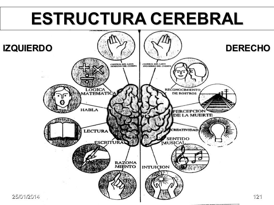 ESTRUCTURA CEREBRAL IZQUIERDO DERECHO 24/03/2017