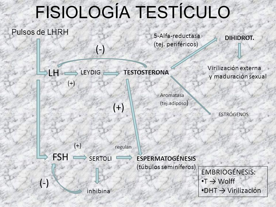 FISIOLOGÍA TESTÍCULO (-) LH (+) FSH (-) Pulsos de LHRH EMBRIOGÉNESIS: