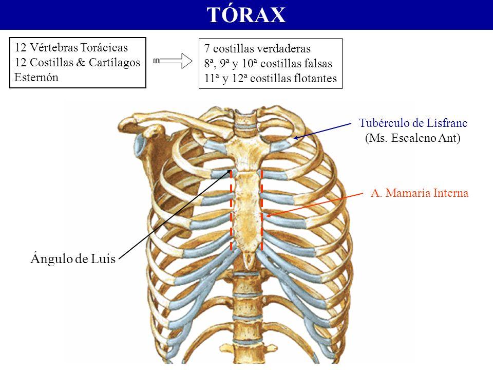 TÓRAX Ángulo de Luis 12 Vértebras Torácicas 7 costillas verdaderas
