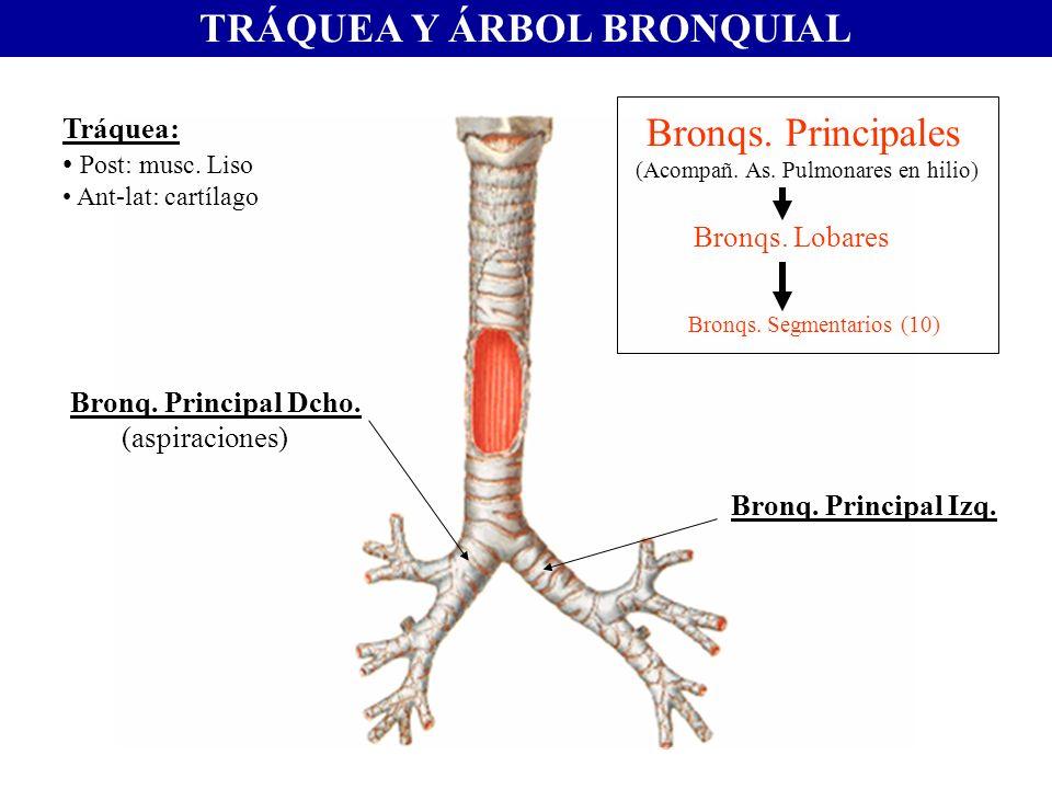 TRÁQUEA Y ÁRBOL BRONQUIAL