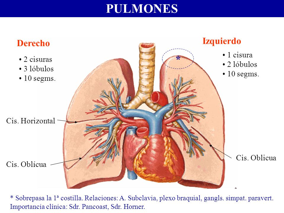 PULMONES * Izquierdo Derecho 1 cisura 2 cisuras 2 lóbulos 3 lóbulos