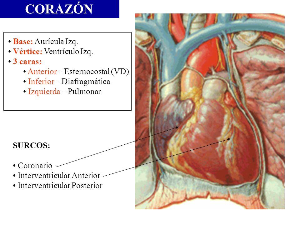 CORAZÓN Base: Aurícula Izq. Vértice: Ventrículo Izq. 3 caras: