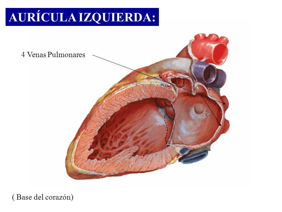AURÍCULA IZQUIERDA: 4 Venas Pulmonares ( Base del corazón)