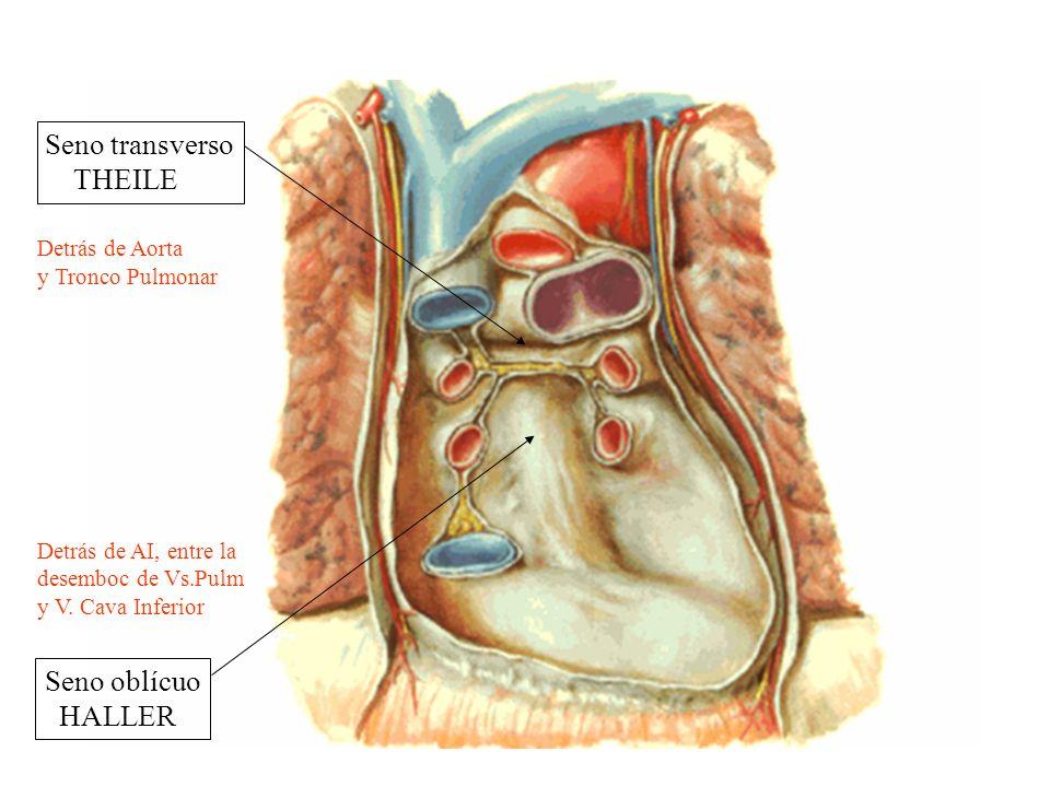 Seno transverso THEILE Seno oblícuo HALLER Detrás de Aorta