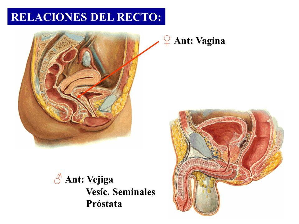 RELACIONES DEL RECTO: ♀ Ant: Vagina ♂ Ant: Vejiga Vesíc. Seminales