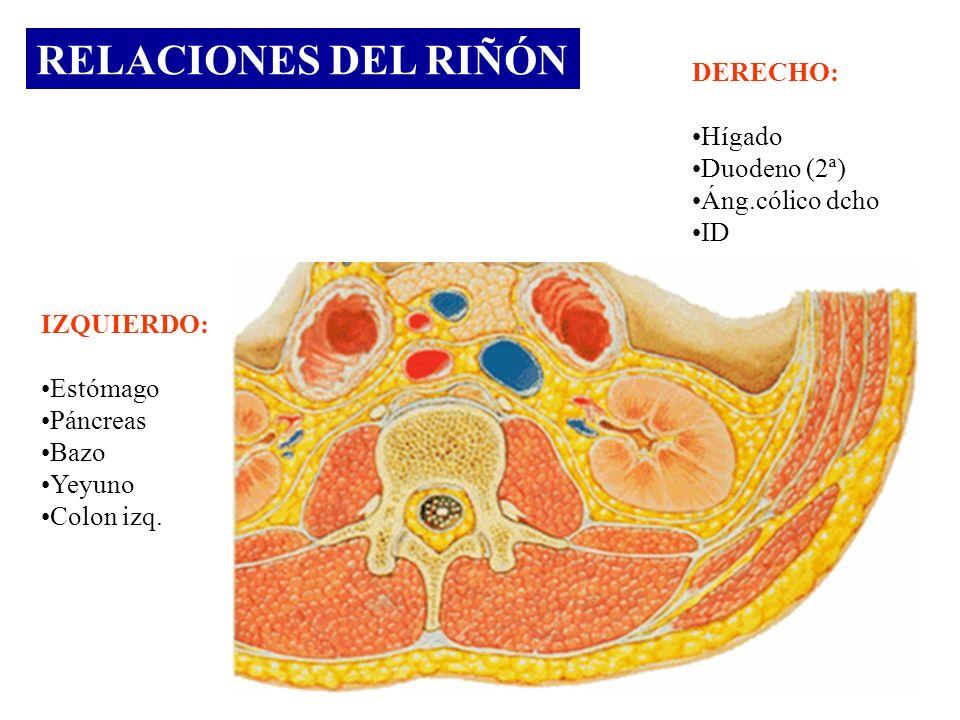 RELACIONES DEL RIÑÓN DERECHO: Hígado Duodeno (2ª) Áng.cólico dcho ID