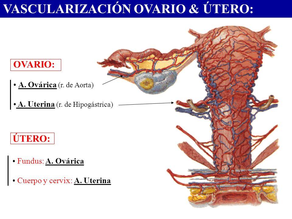VASCULARIZACIÓN OVARIO & ÚTERO: