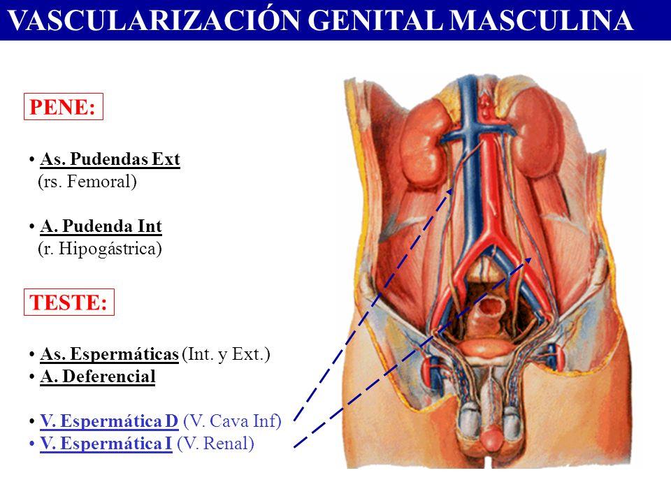 VASCULARIZACIÓN GENITAL MASCULINA
