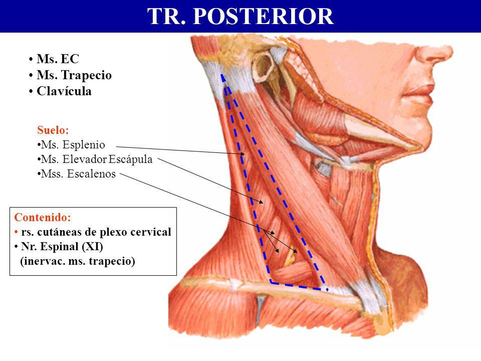 TR. POSTERIOR Ms. EC Ms. Trapecio Clavícula Suelo: Ms. Esplenio