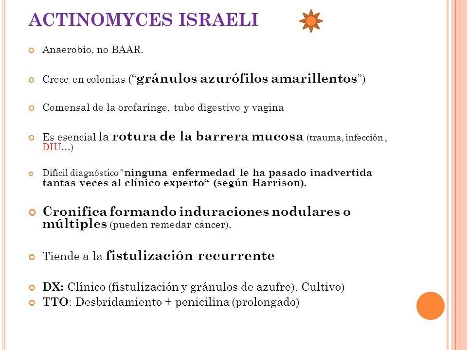 ACTINOMYCES ISRAELI Anaerobio, no BAAR. Crece en colonias ( gránulos azurófilos amarillentos ) Comensal de la orofaringe, tubo digestivo y vagina.