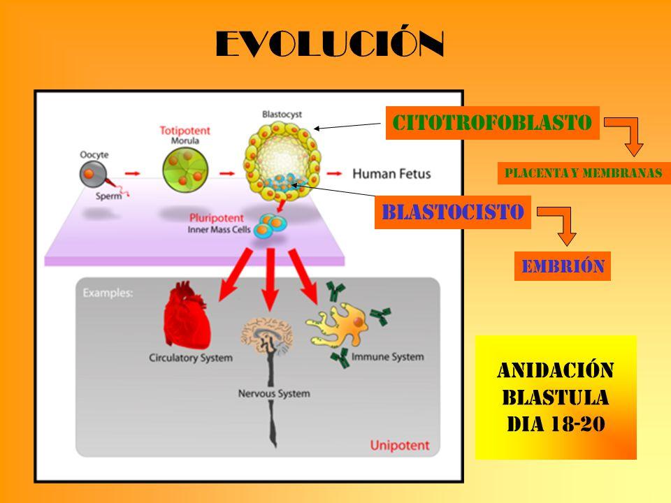 EVOLUCIÓN Citotrofoblasto Blastocisto ANIDACIÓN BLASTULA DIA 18-20