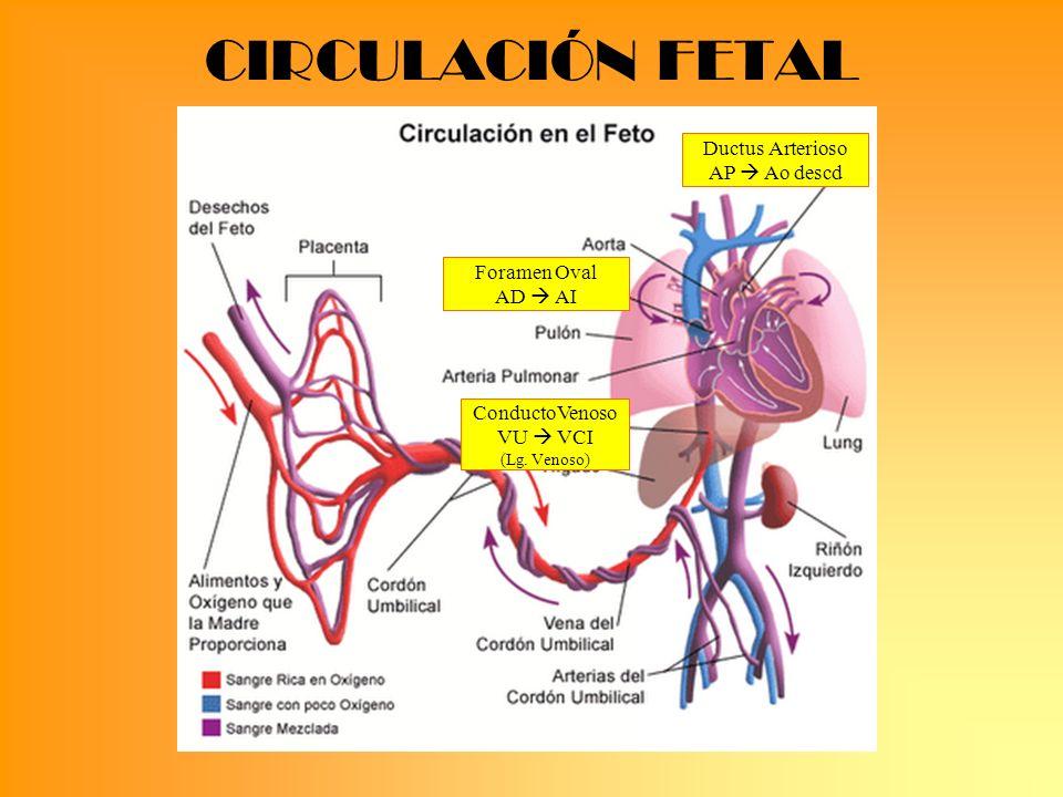 CIRCULACIÓN FETAL Ductus Arterioso AP  Ao descd Foramen Oval AD  AI