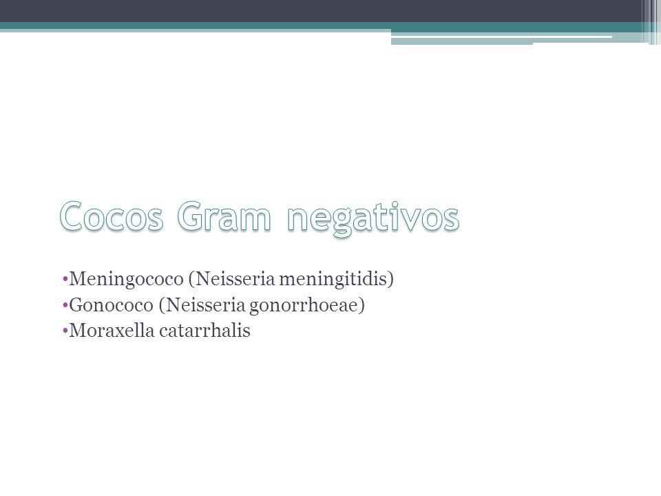 Cocos Gram negativos Meningococo (Neisseria meningitidis)