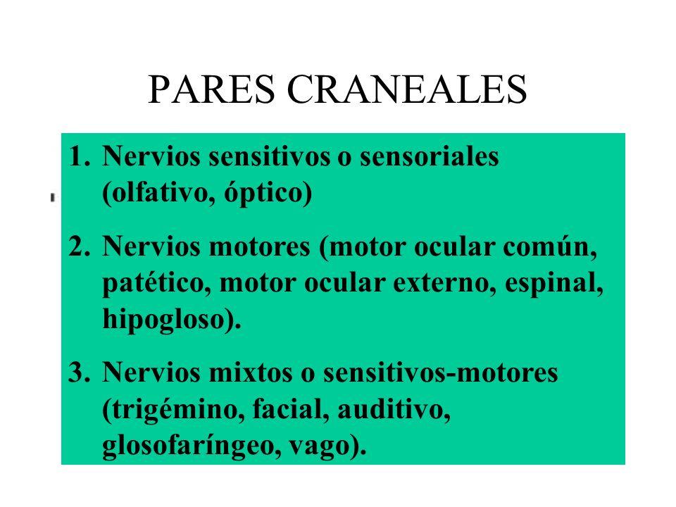 PARES CRANEALES Nervios sensitivos o sensoriales (olfativo, óptico)