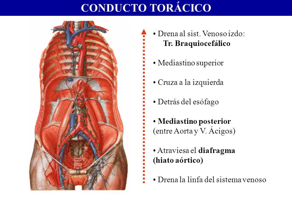 CONDUCTO TORÁCICO Drena al sist. Venoso izdo: Tr. Braquiocefálico