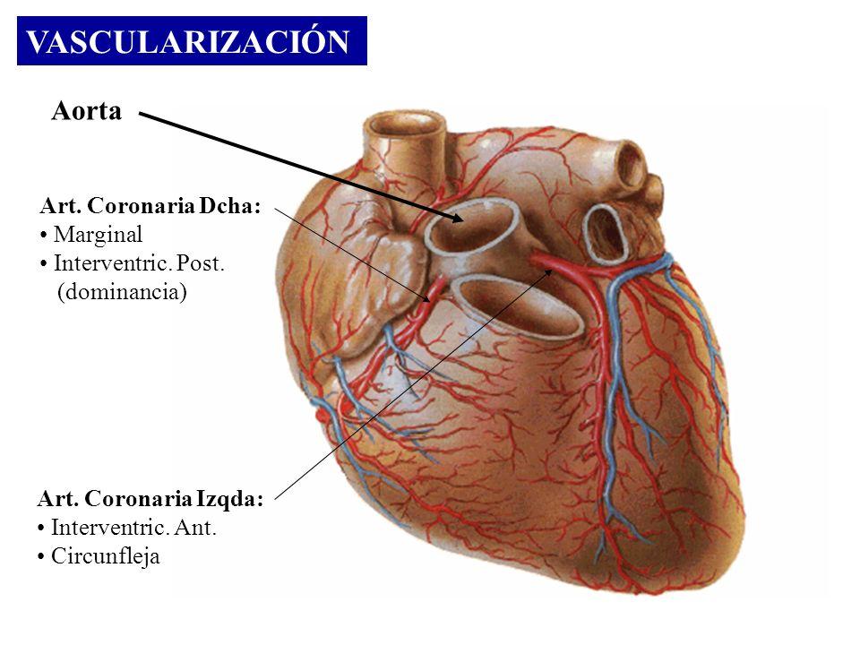 VASCULARIZACIÓN Aorta Art. Coronaria Dcha: Marginal