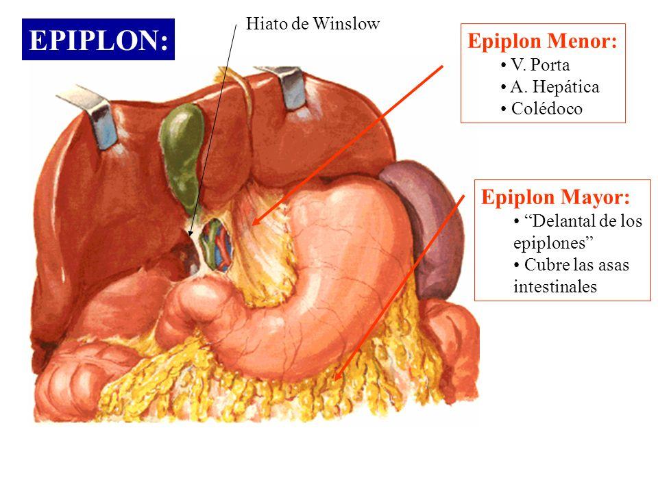 EPIPLON: Epiplon Menor: Epiplon Mayor: Hiato de Winslow V. Porta