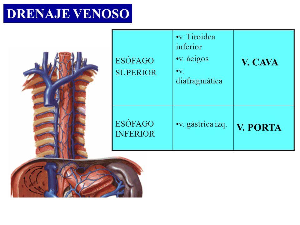 DRENAJE VENOSO V. CAVA V. PORTA ESÓFAGO SUPERIOR v. Tiroidea inferior