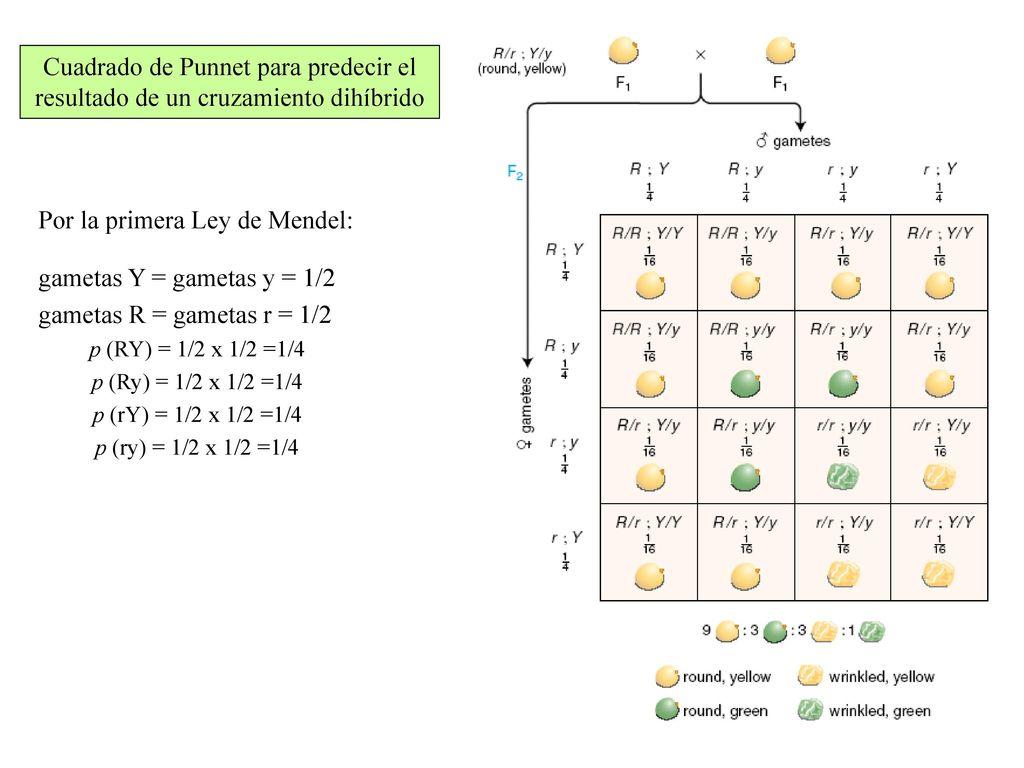 Vistoso Punnet Hoja Cuadrada Composición - hojas de trabajo básicos ...