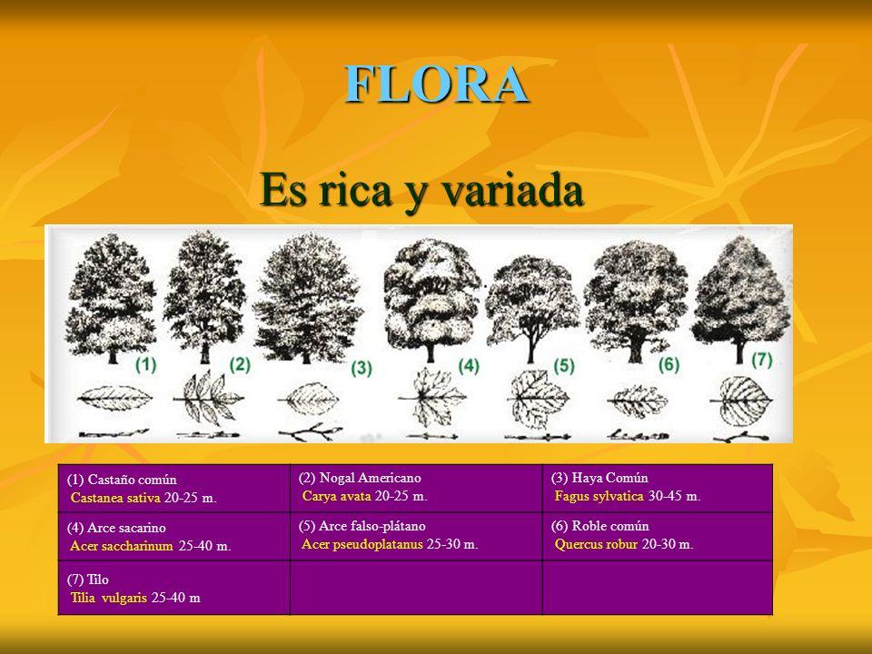 FLORA Es rica y variada (1) Castaño común Castanea sativa 20-25 m.