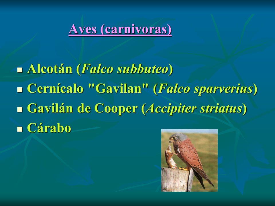 Alcotán (Falco subbuteo) Cernícalo Gavilan (Falco sparverius)
