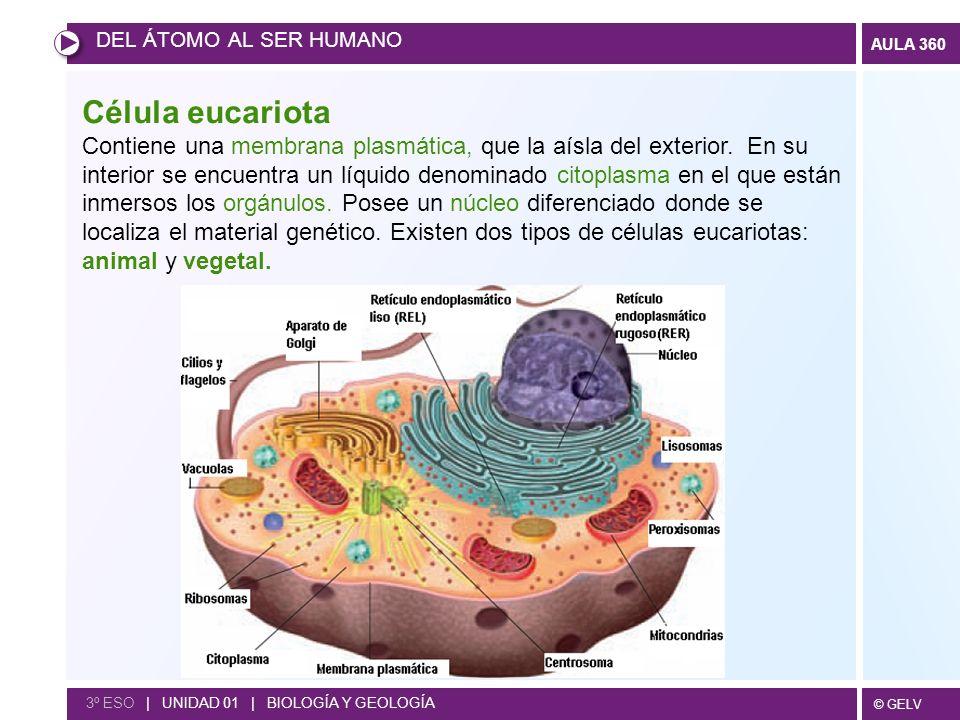 DEL ÁTOMO AL SER HUMANO Célula eucariota.