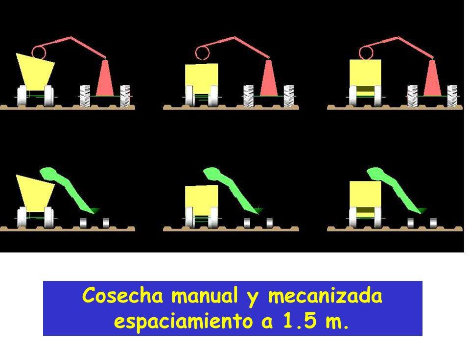 Cosecha manual y mecanizada espaciamiento a 1.5 m.
