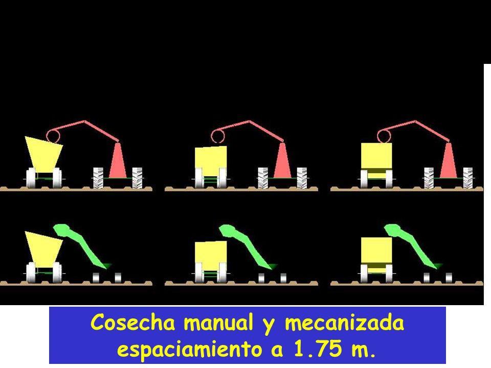 Cosecha manual y mecanizada espaciamiento a 1.75 m.