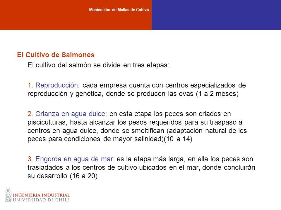 El cultivo del salmón se divide en tres etapas: