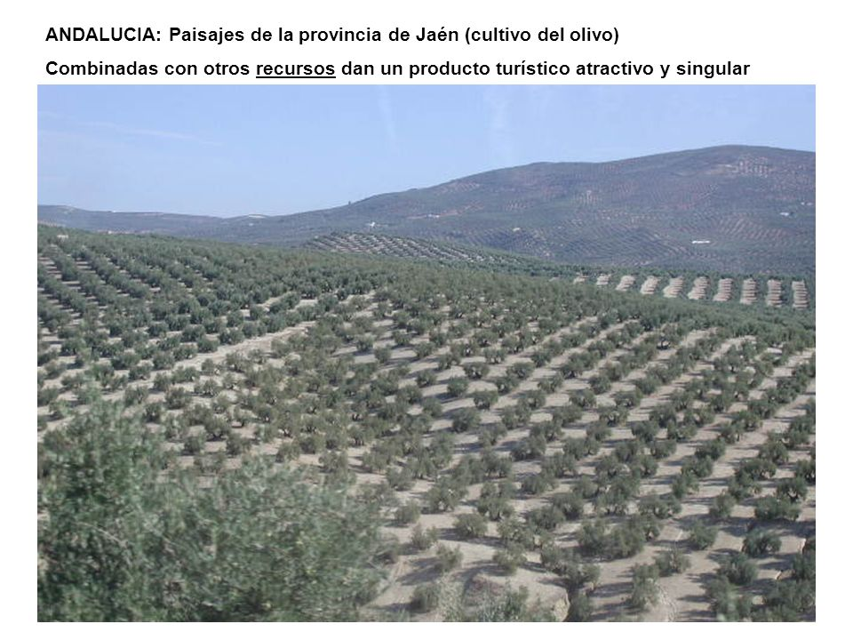 ANDALUCIA: Paisajes de la provincia de Jaén (cultivo del olivo)