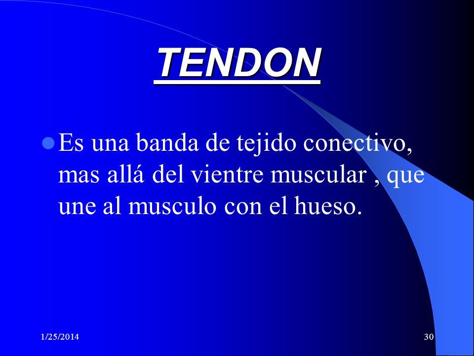 TENDON Es una banda de tejido conectivo, mas allá del vientre muscular , que une al musculo con el hueso.