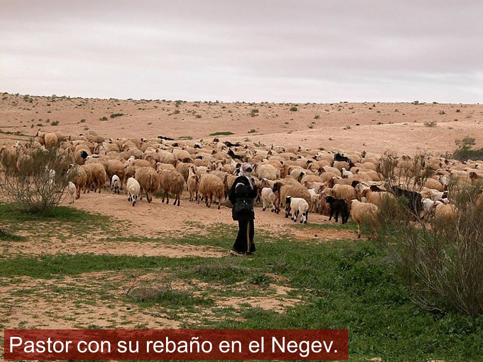 Shepherd with flock in Negev riverbed