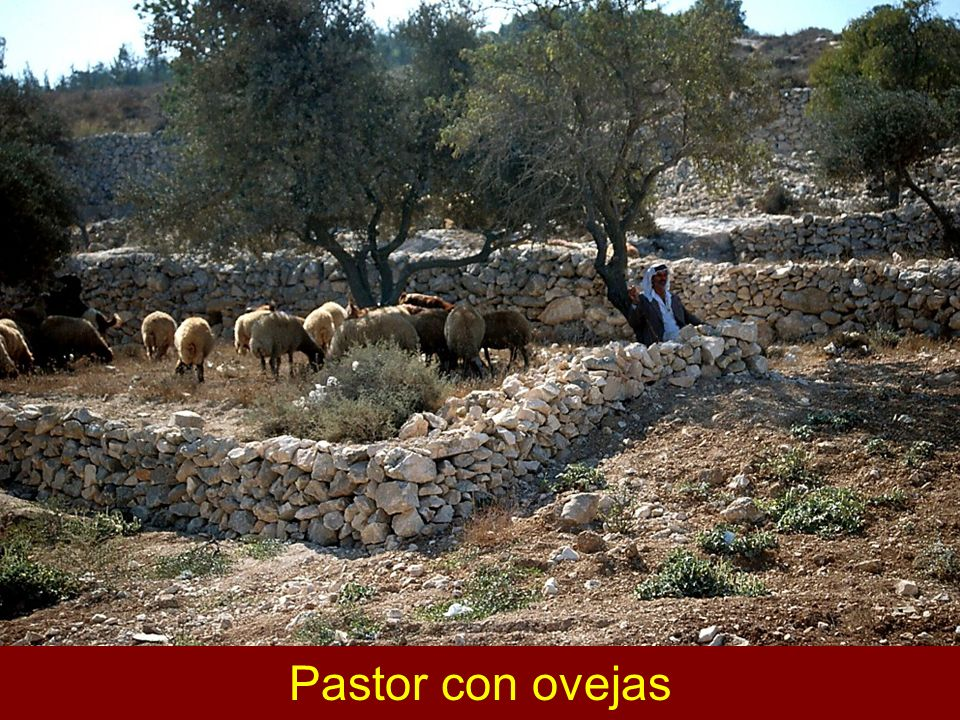 Shepherd with flock Pastor con ovejas