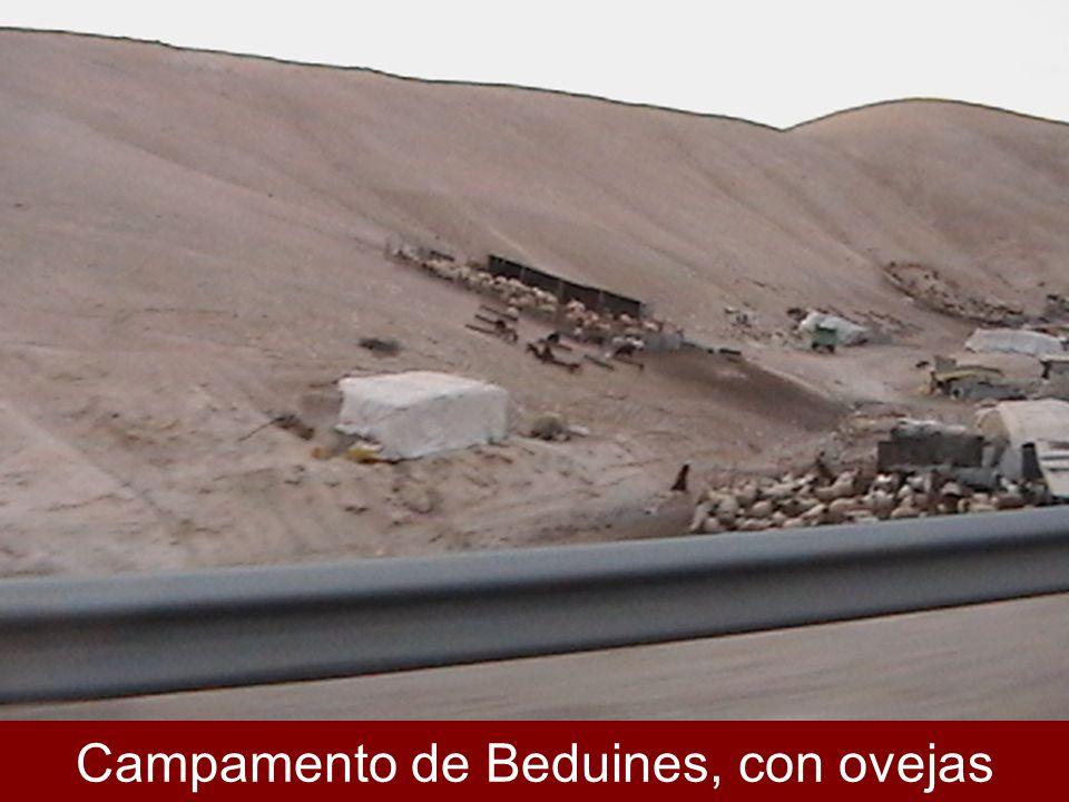 Campamento de Beduines, con ovejas