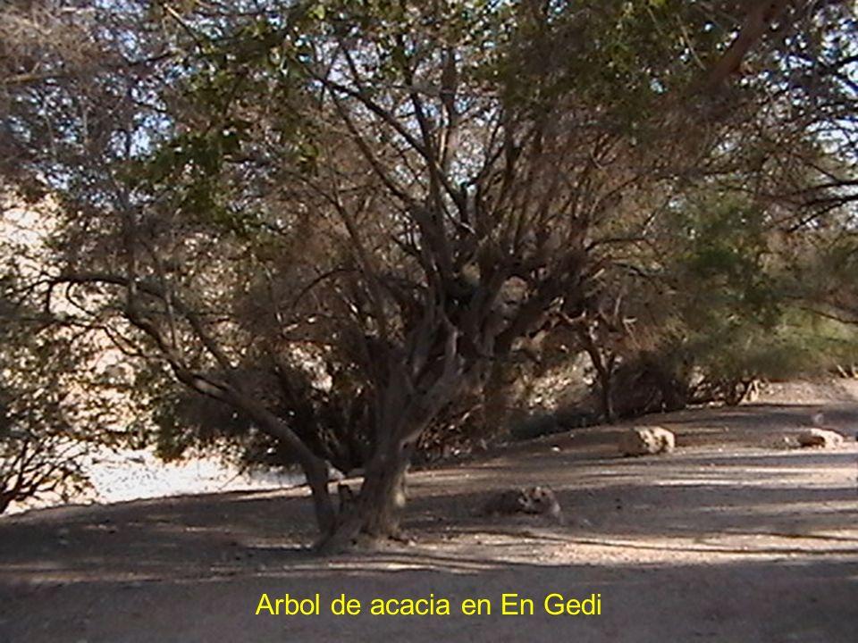 Arbol de acacia en En Gedi