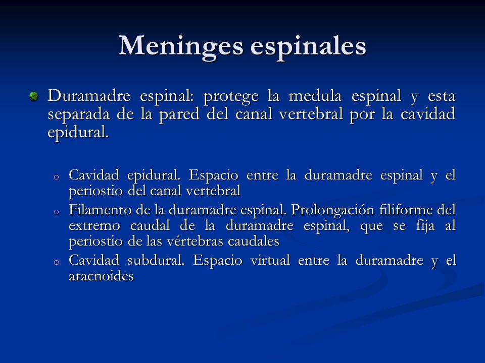 Meninges espinales Duramadre espinal: protege la medula espinal y esta separada de la pared del canal vertebral por la cavidad epidural.