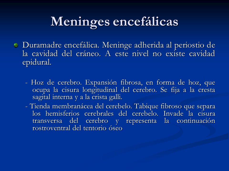 Meninges encefálicas Duramadre encefálica. Meninge adherida al periostio de la cavidad del cráneo. A este nivel no existe cavidad epidural.