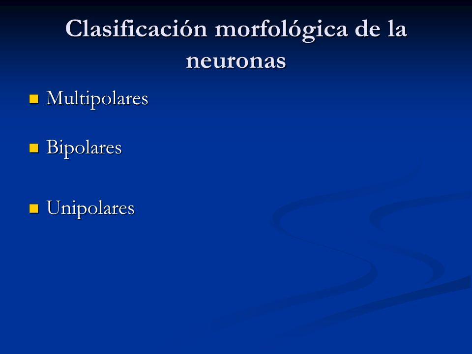 Clasificación morfológica de la neuronas