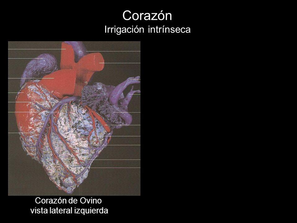 Corazón Irrigación intrínseca