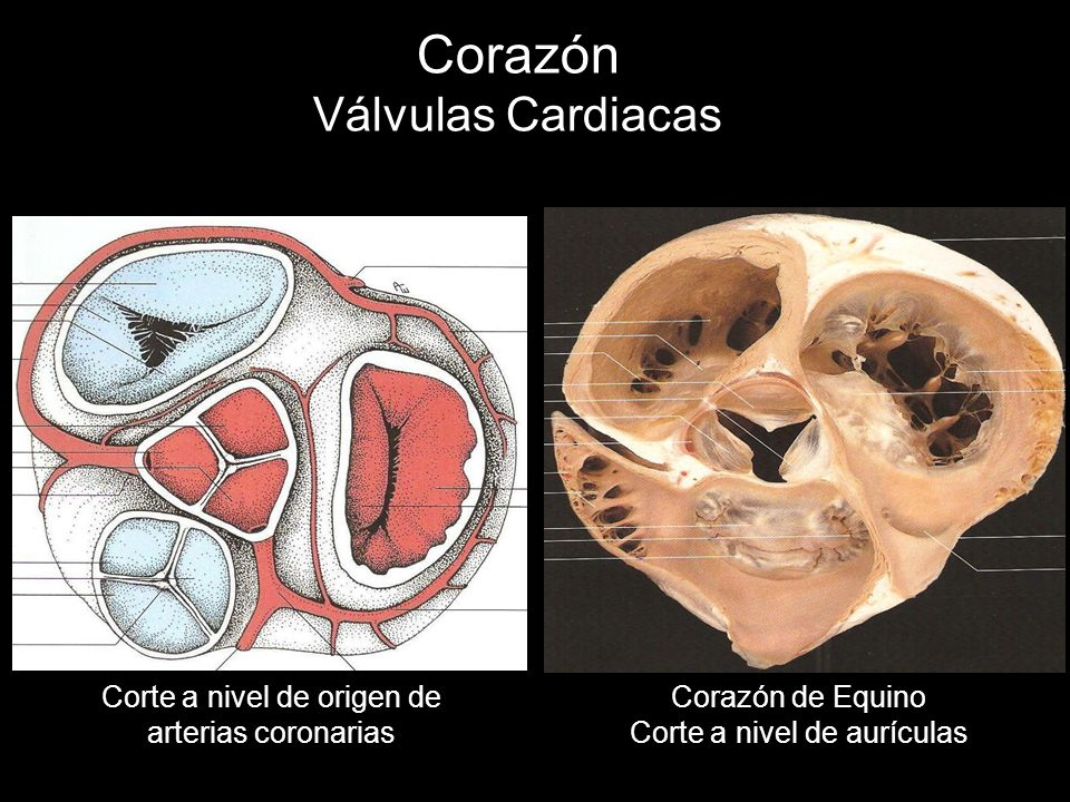Corazón Válvulas Cardiacas